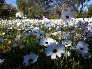 white-daisies-meadow-camphill-village.jpg