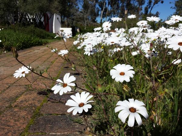 White daisies at Camphill chapel